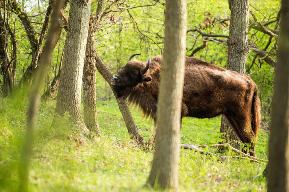 Auge in Auge mit Europas größten Landsäugetieren. © Istock/ysbrandcosijn